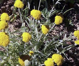 Bupleurum fruticosum: Productos y Servicios de Naturalia Jardiners
