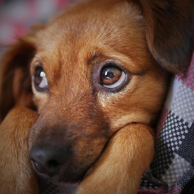 Cómo saber si tu perro tiene otitis canina