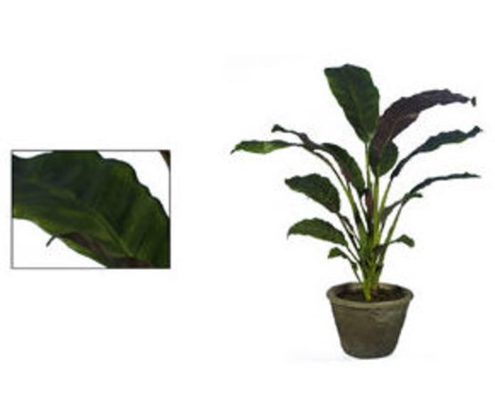 Planta Calathea con maceta 90cm