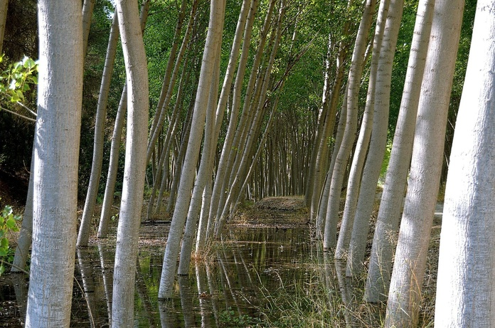 Plantación de chopos en León