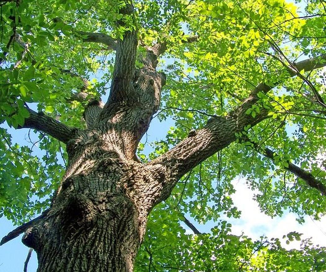¿Cuáles son los objetivos de la poda de árboles urbanos?