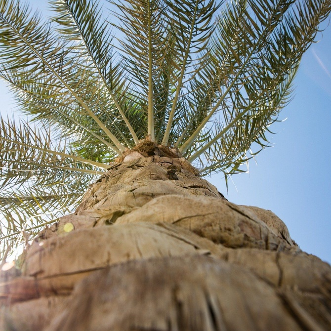Los principales tipos de palmeras para jardines