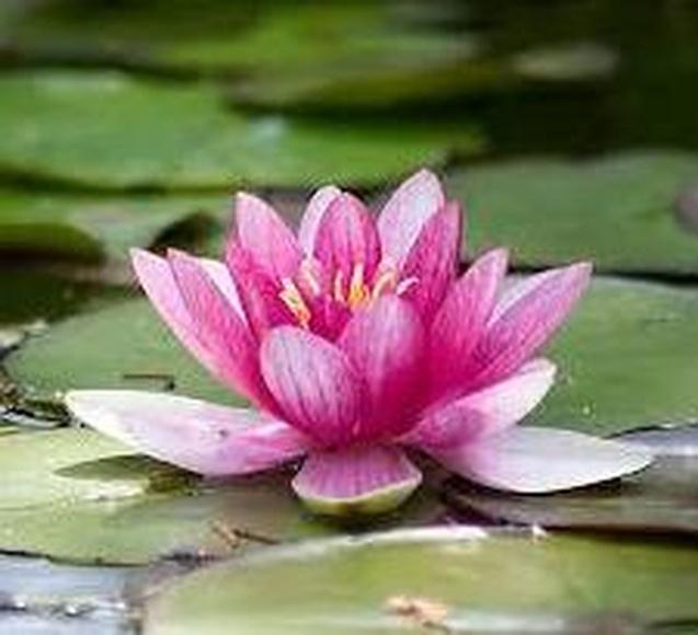 Flor de Loto - Orquídeas amazónicas : Terapias de Terapias Alternativas Isabel