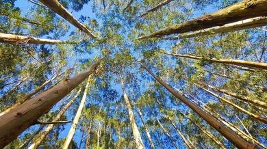 Biomasa y el eucalipto