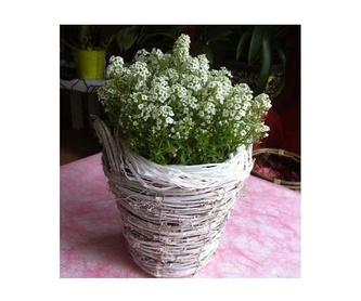 Girasoles: Catálogo de Flores Maranta