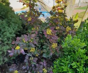 Planta con floración primaveral, Mahonia aquifolium.
