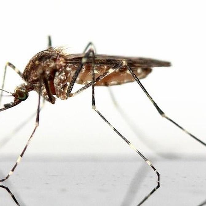 Terminar con el mosquito tigre