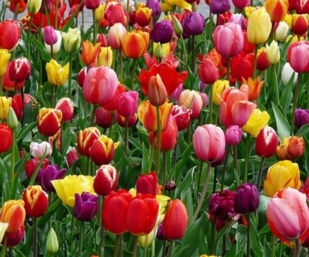 Cuidado con el riego de los tulipanes