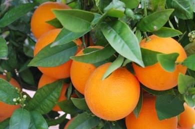 Empieza la temporada de naranjas