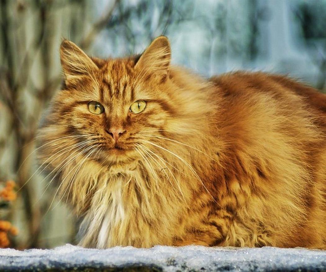 Los cuidados de los gatos de pelo largo