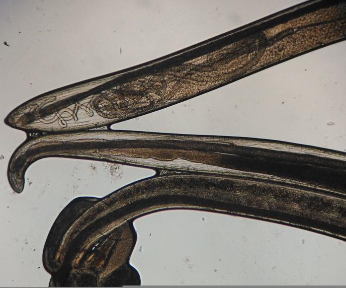 Thelazia callipaeda, gusano oriental del ojo