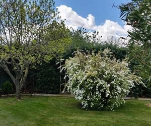 Ya en plena primavera, vemos aparecer las floraciones de diversos arbustos, como esta spirae