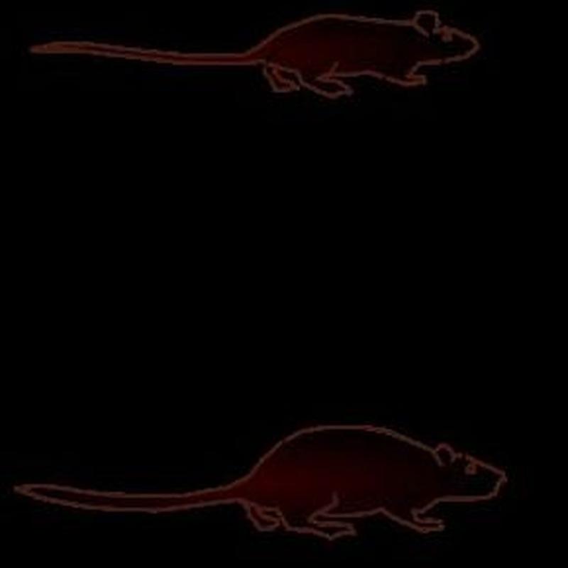 Control de plagas en ratas