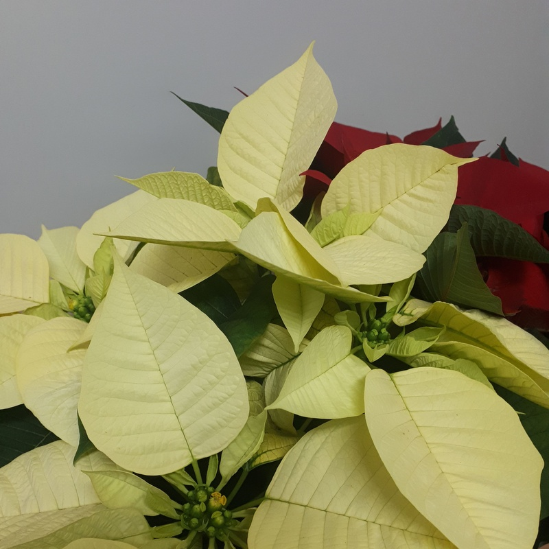flor de pascua amarilla