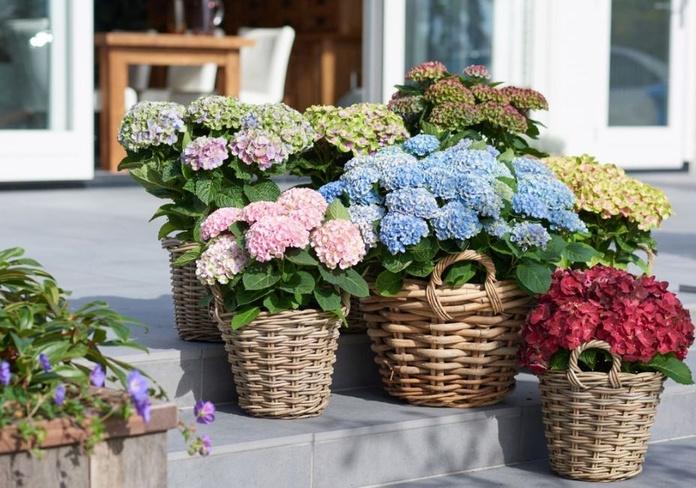 Poda  tus hortensias, valdrá la pena: Productos y servicios de El Abeto