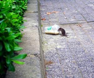 Invasión de roedores en las grandes ciudades