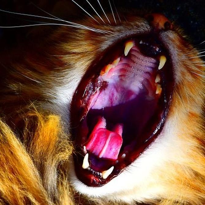 Cómo cuidar los dientes de tu gato