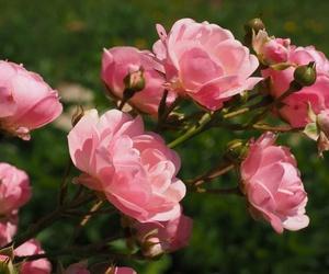 Una de las plantas más apreciadas: los rosales