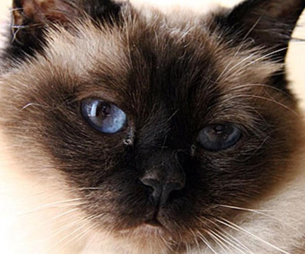 Enfermedades más comunes en el gato y cómo detectarlas