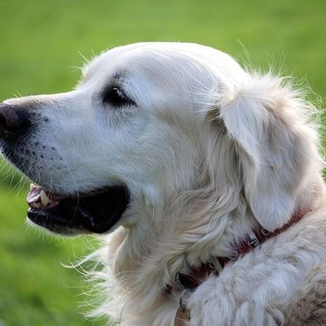 Cómo cuidar el pelaje blanco de los perros