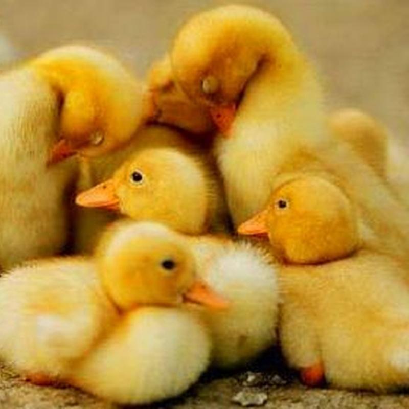 venta de patos en bizkaia