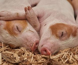 Venta de cerdos de crianza y matanza