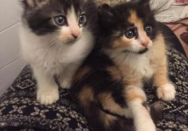 Adopciones felinas