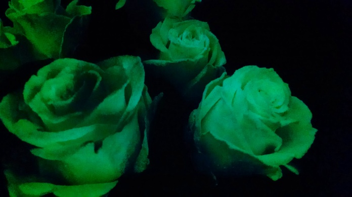 Rosa Luminosas