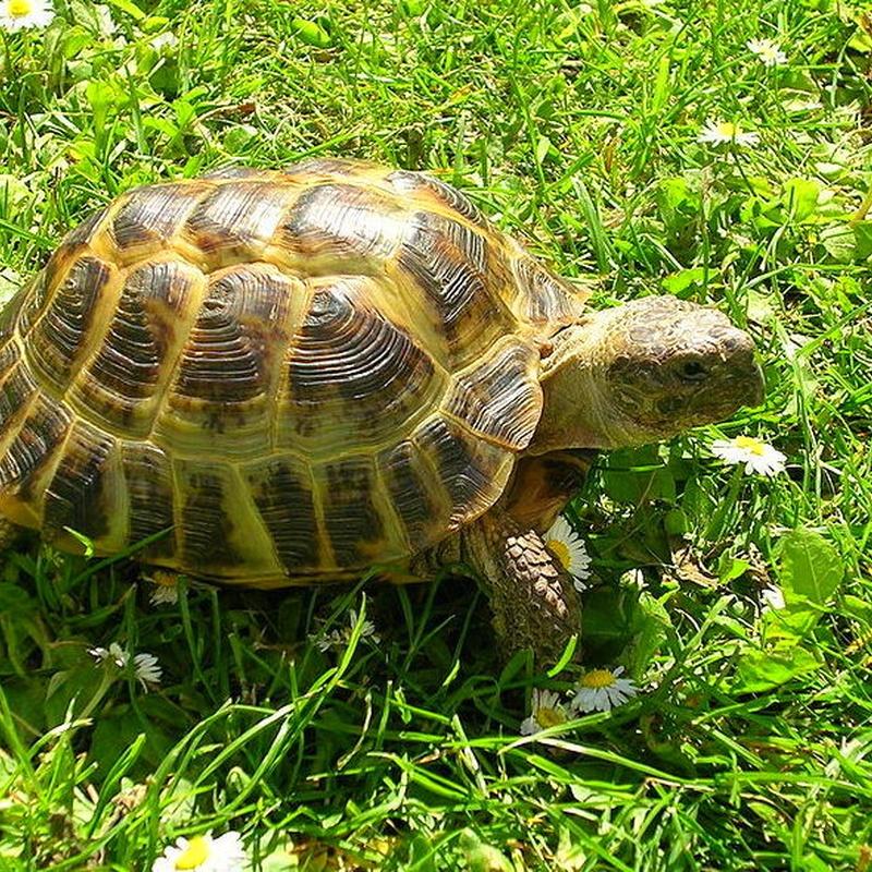 Tortuga Rusa o Agrionemys horsfieldii: Catálogo de Reptil Parc