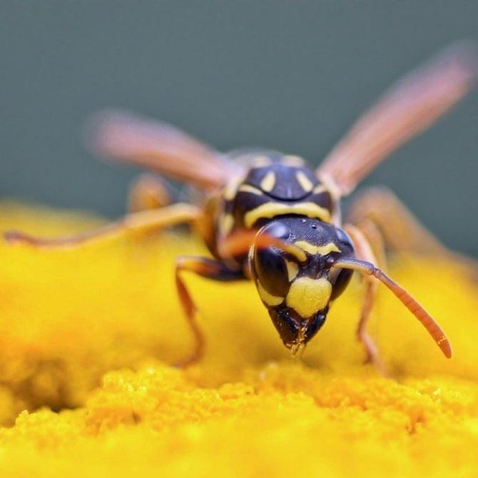 ¿Avispas o abejas?