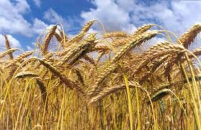 Cereal: Agroceres, S.L.