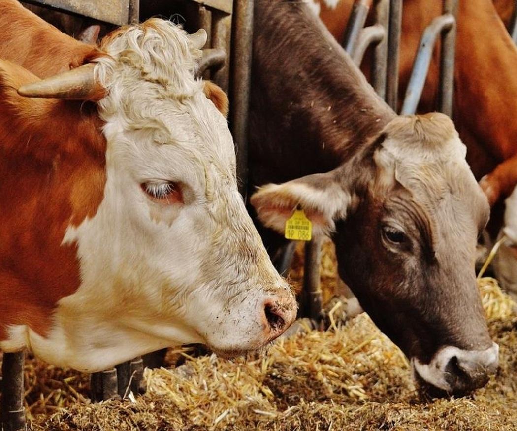 El uso de la refrigeración en la ganadería