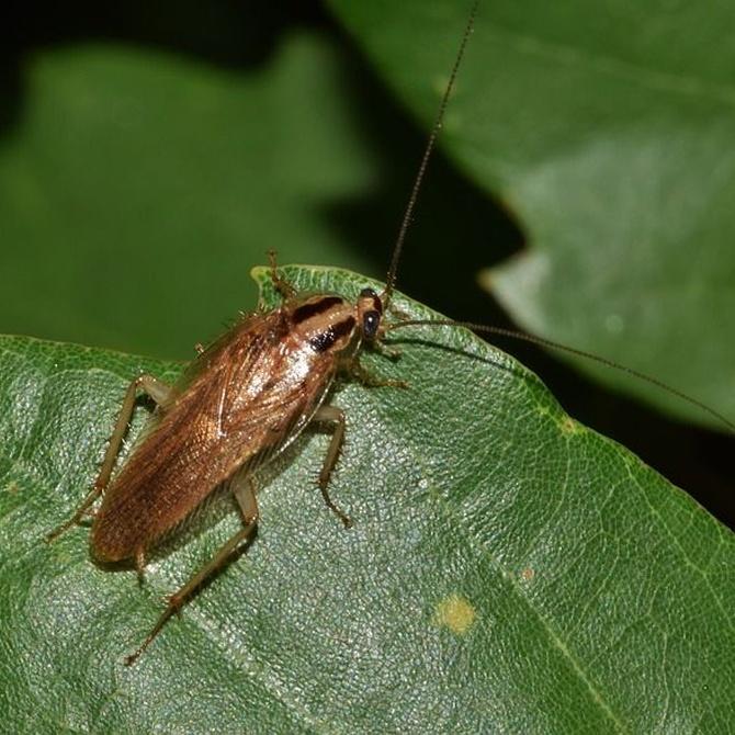 Las plagas de cucarachas en otoño