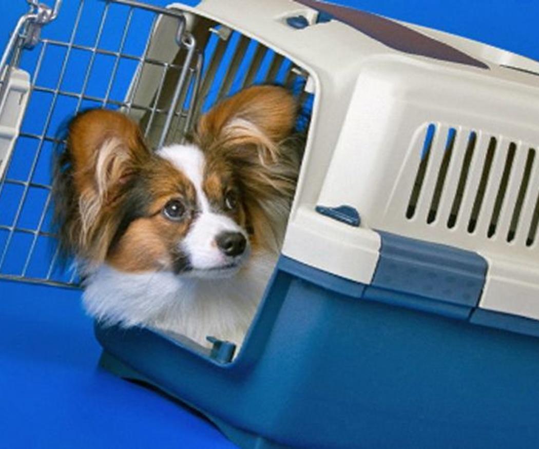 Cómo detectar el moquillo canino