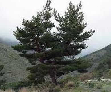 Pinar dePinus sylvestris Nvadensis Ref.. 43