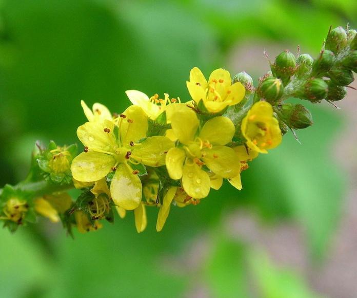 Agrimonia | Terapias Alternativas Isabel | Flores de Bach en Zaragoza