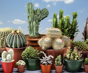 Cacti, the stars of low consumption gardens