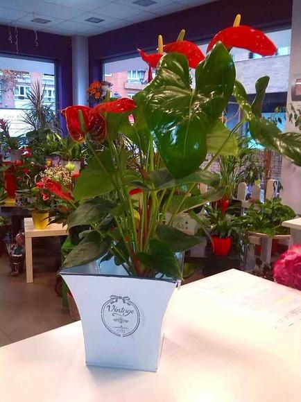 Anthurium: Nuestras flores de Bouquet Flores y Plantas