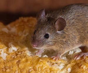 Plagas de ratas en Albacete