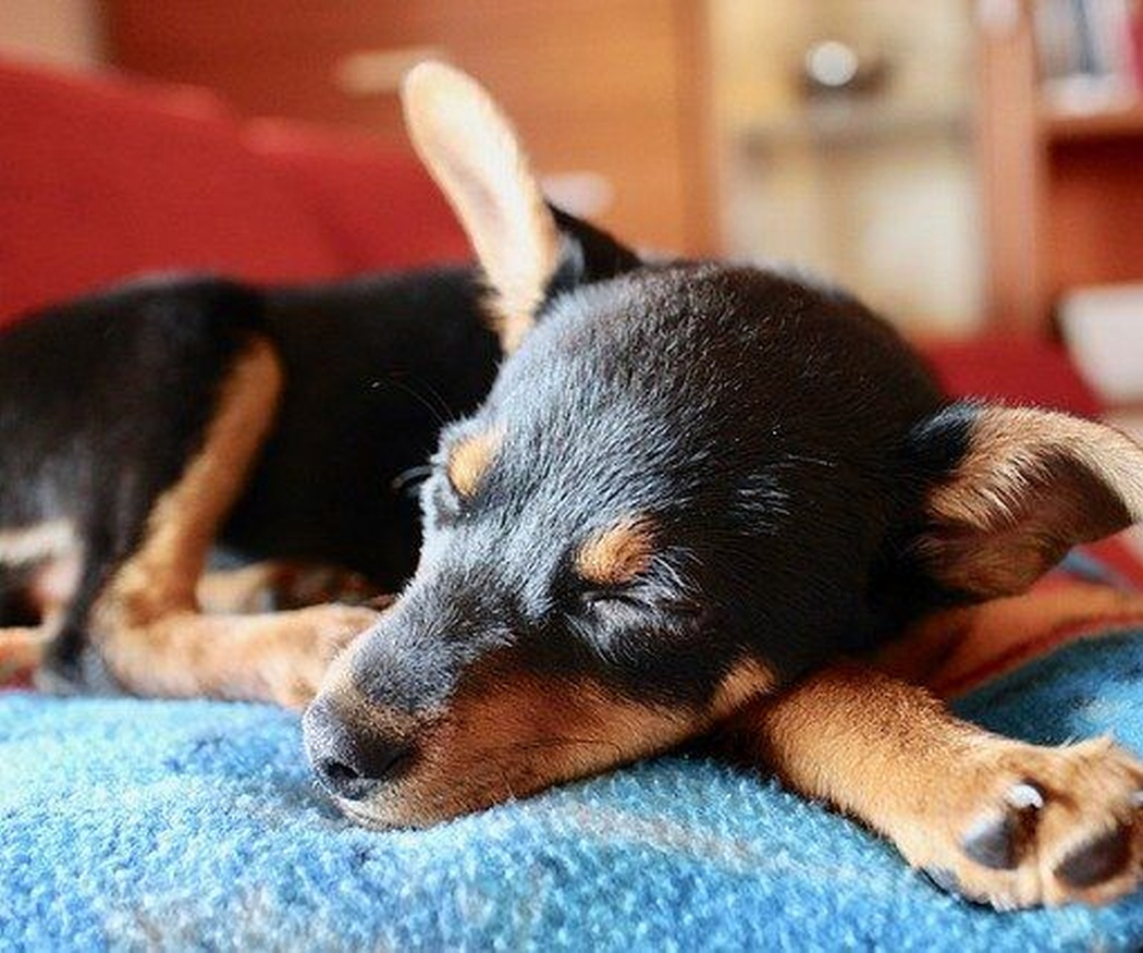 Cómo saber si tu perro tiene otitis