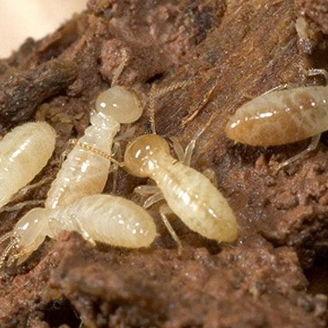 ¿Cuantas clases de termitas existen?
