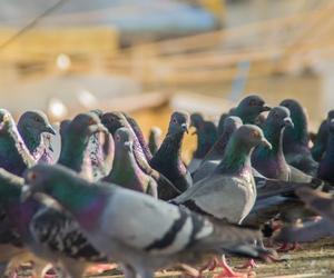 Las aves también pueden ser una plaga