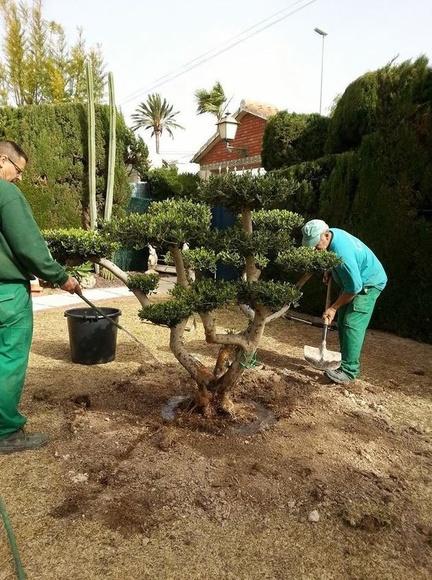 Preparación de árboles y palmeras para transplantar: Servicios de Mantenimientos y Jardinería La Jara
