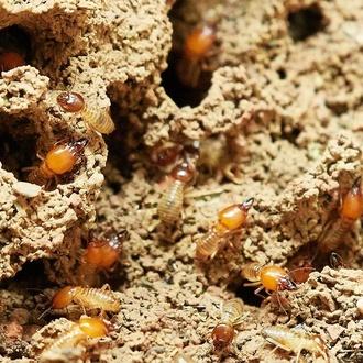 Exterminio de termitas
