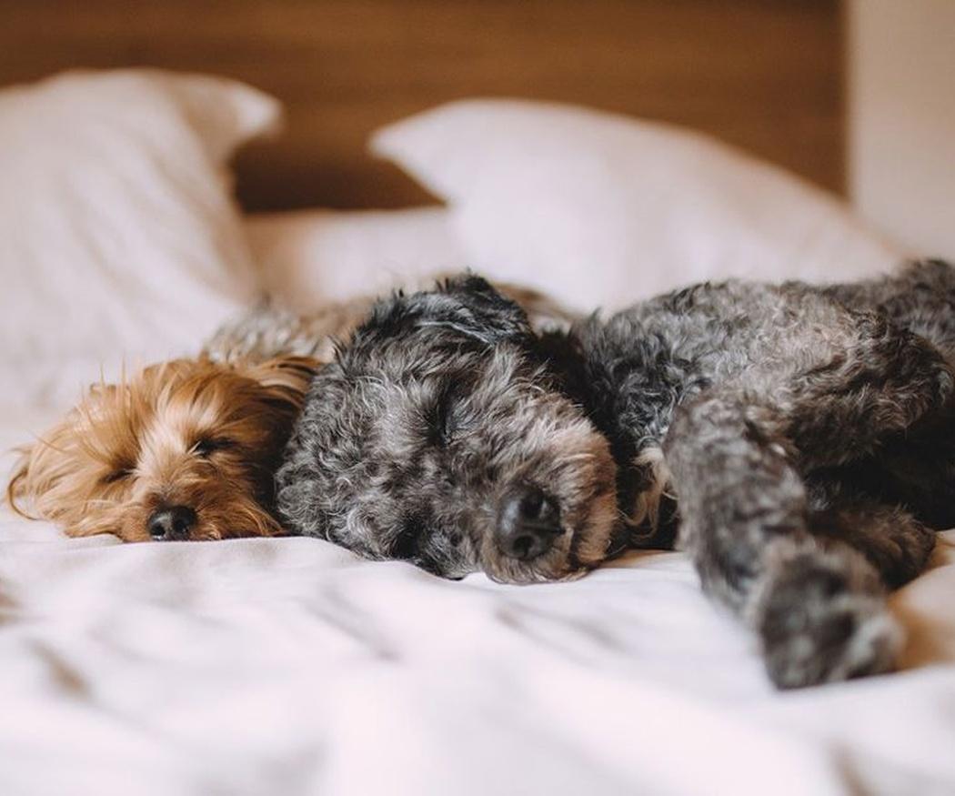 El comportamiento de las chinches de la cama