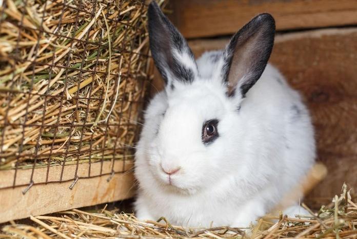 Vacunación Conejos
