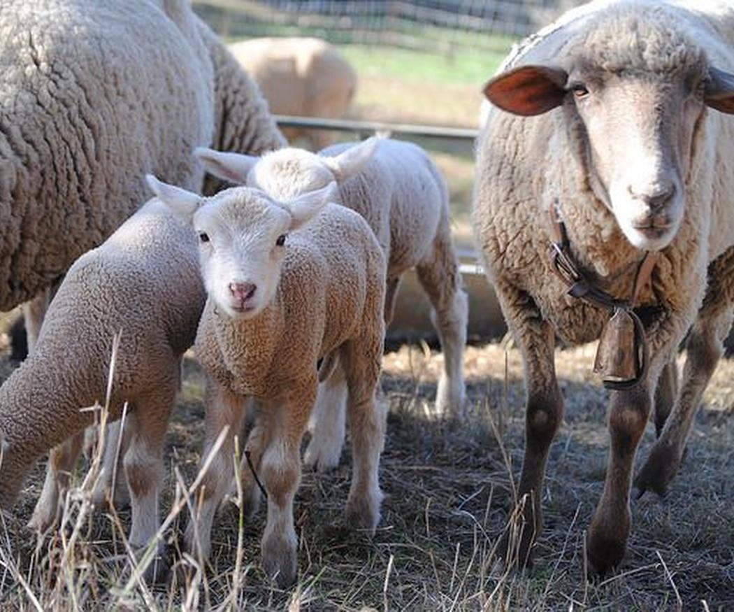 La oveja: uno de los principales animales de la cocina vasca