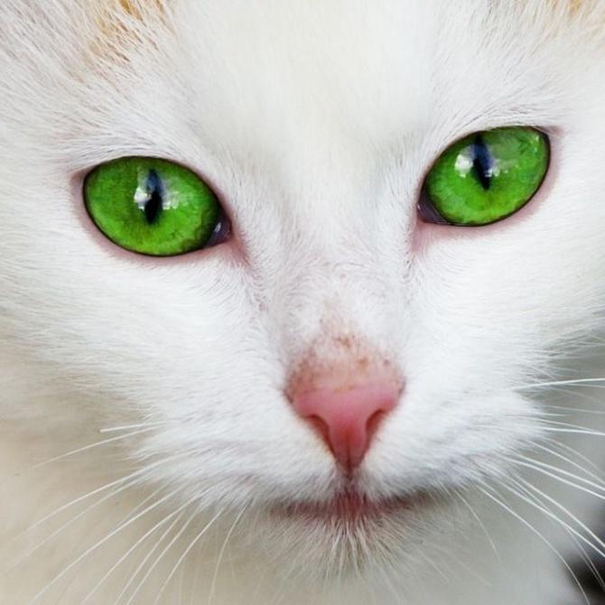 Problemas de los ojos en gatos