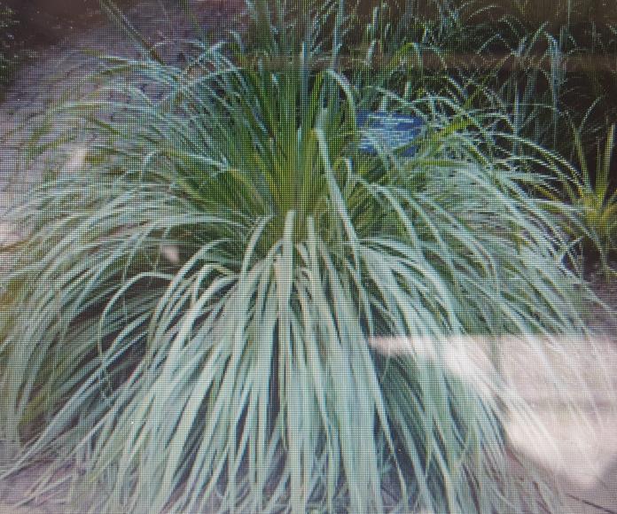 CYMBOPOGON CITRATUS: Productos trebol garden de Trébol Garden