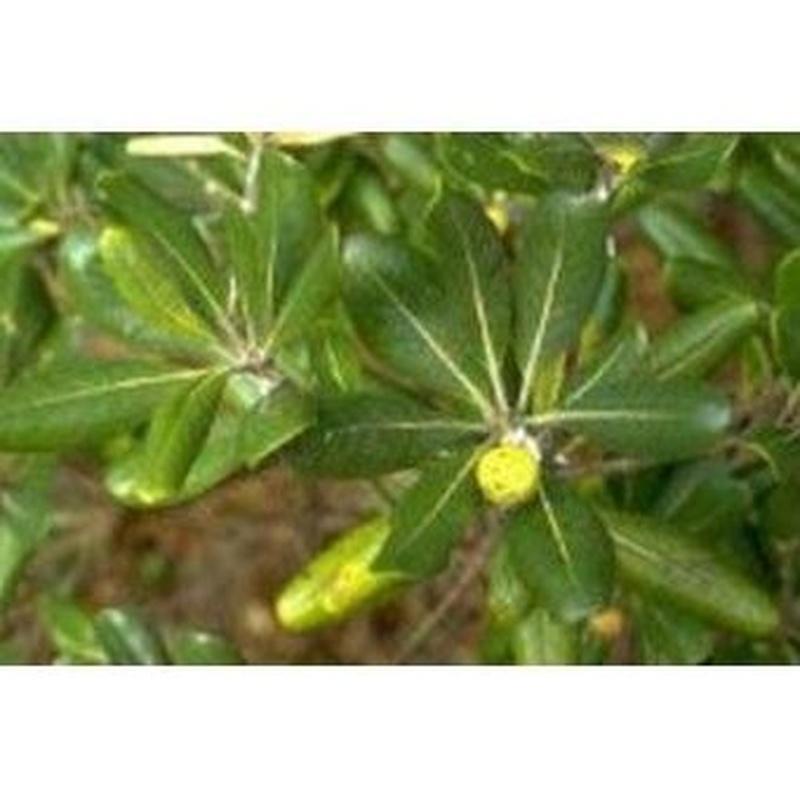 Pitosporum: Productos de Danimayos Crea Tu Jardin